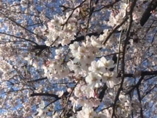 春ですね♪(2017/04/04 15:28)早坂 千晴のブログ画像