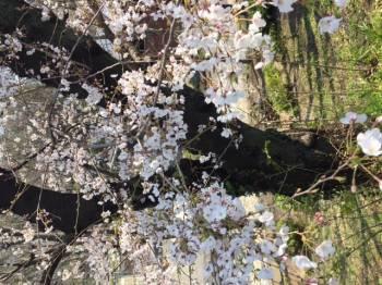 散歩🌸(2017/04/04 13:15)山川 穂希のブログ画像