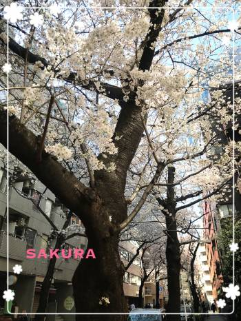 🌸桜🌸(2018/03/25 13:27)神崎 あきらのブログ画像