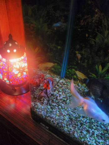金魚(2017/08/08 11:40)春菜 りおんのブログ画像