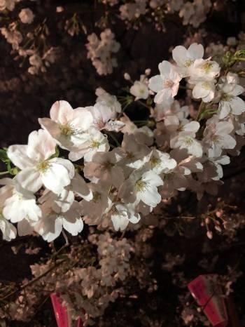 さくらの季節🌸(2019/04/05 09:31)後藤こはるのブログ画像