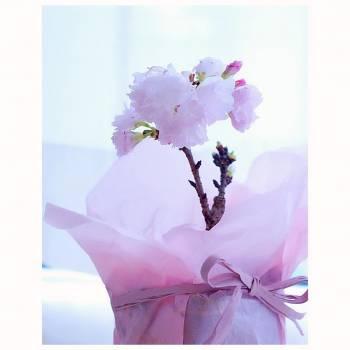 桜開花🌸ゆみ(2019/03/22 13:58)大橋 ゆみのブログ画像