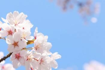 桜開花🌸ゆみ(2021/03/15 13:20)大橋 ゆみのブログ画像